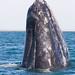 Grey whale (Escrichtius robustus) 12 Feb-10-7634