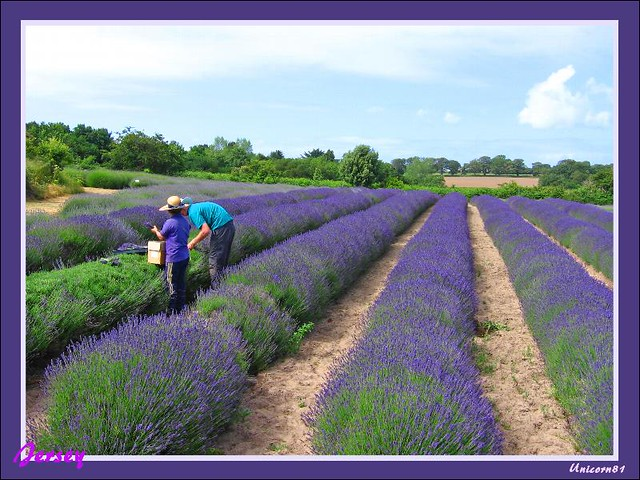 Jersey Uk Lavendelfarm Lavender Farm Channel Islands