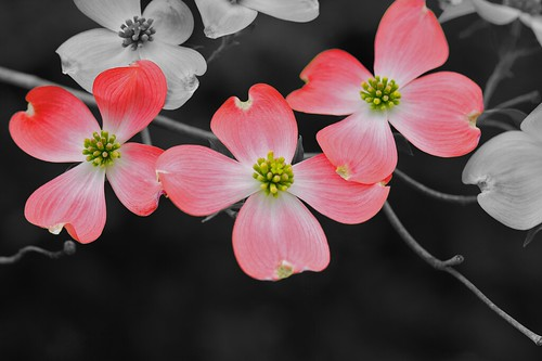 Dogwood Flowers First Try Selective Color Mike