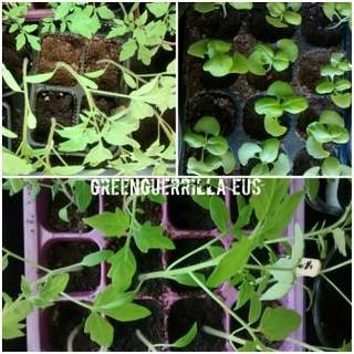 plantas en semilleros listas para cambiar