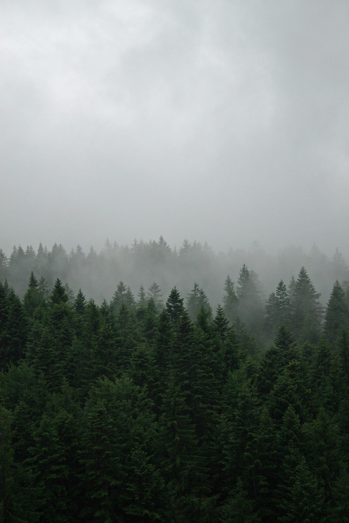 Forest mist location ojdula eastern carpathians - Pine tree wallpaper iphone ...