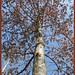 White Oak in Winter