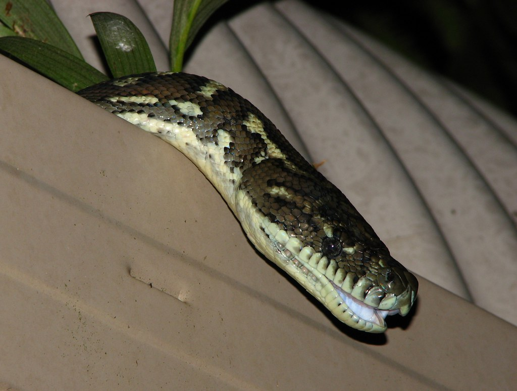 Laughing Gutter Python   My house is like a bloody zoo! I ...