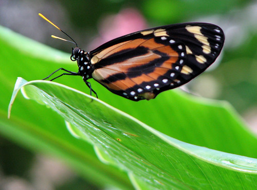 Tiger Longwing on Leaf, Heliconius hecale | by Toria Clark