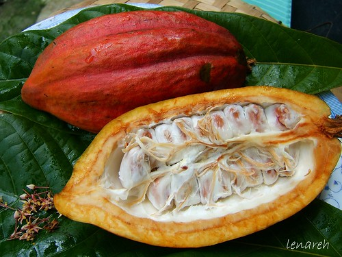 2675697369_04292b61a4 - Cacao Fruit - Philippine Photo Gallery