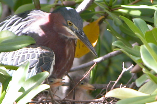 Greenback Heron-4 | by keywest aquarium