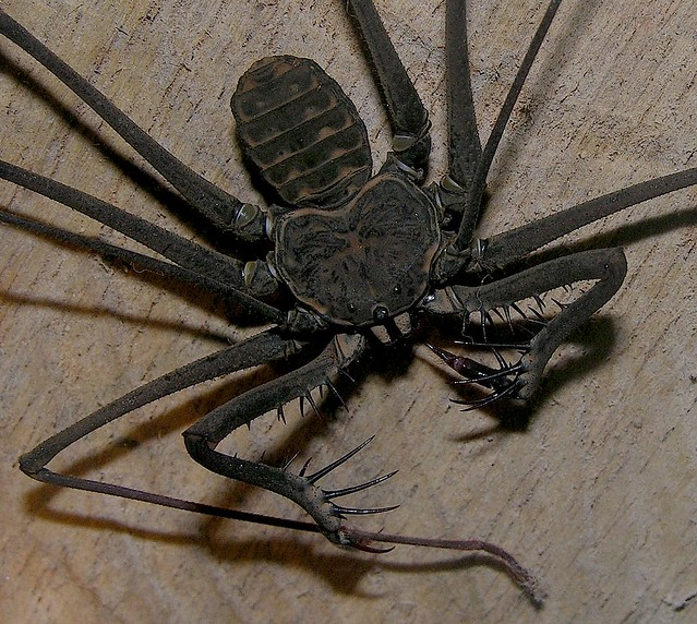 Whip Spider (Heterophrynus Elaphus), Peruvian Amazon