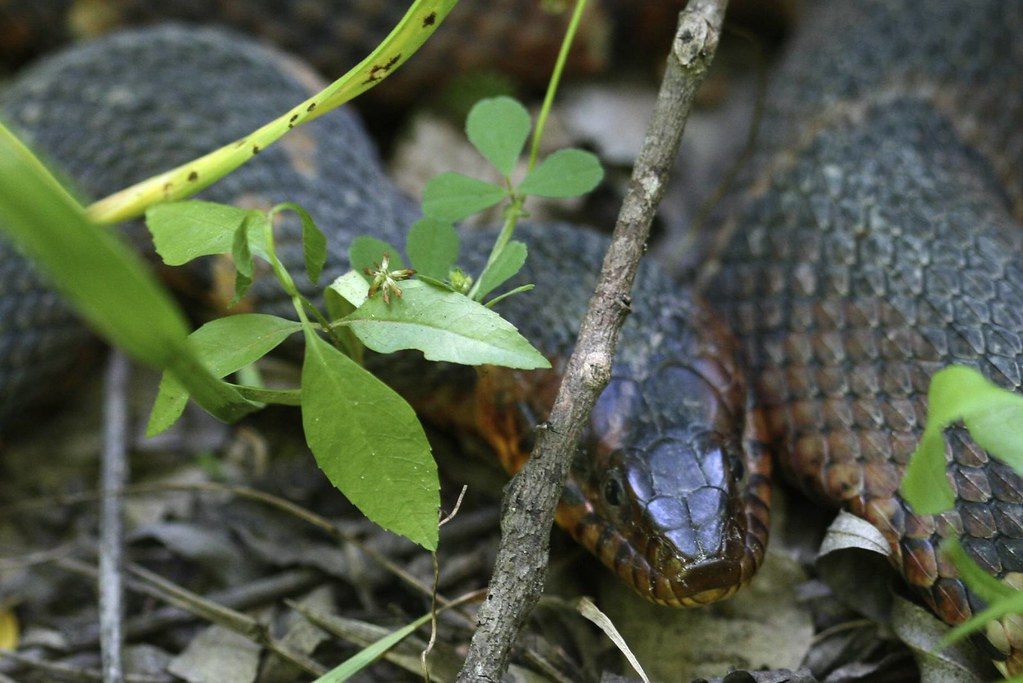 terry hershy park snake wandered    bayou  terr flickr