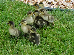 Ducklings a-visiting | by pelennor