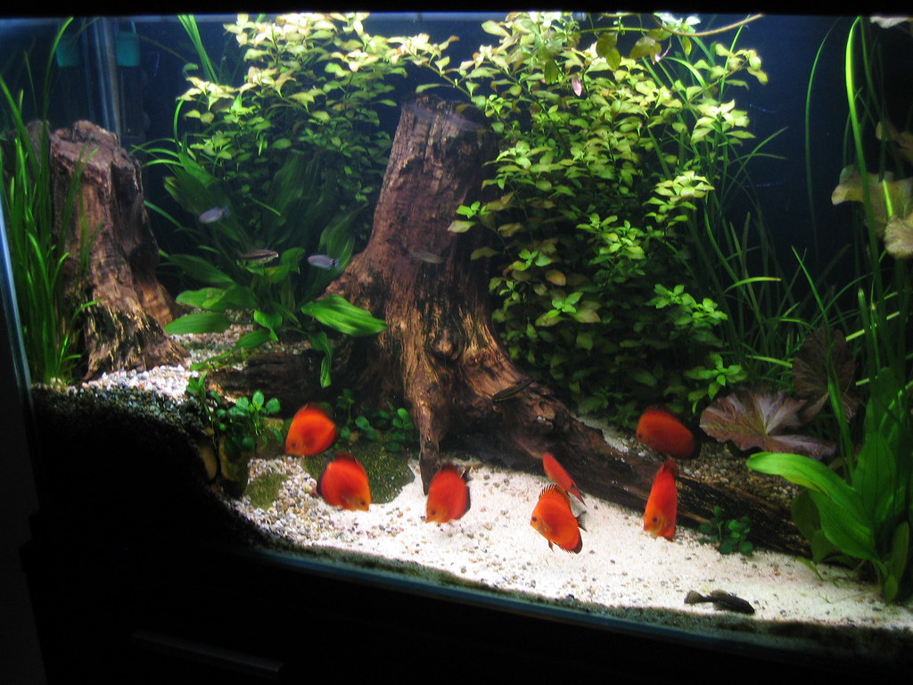 red melon discus tank   PanchoPan   Flickr