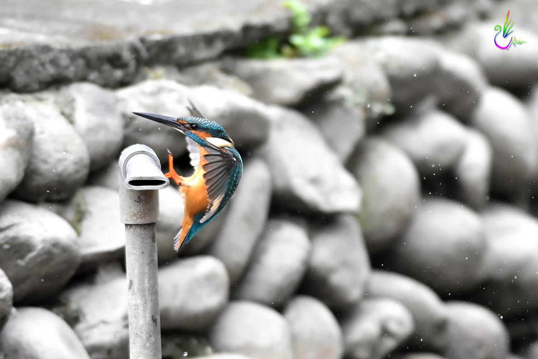 Common_Kingfisher_0983