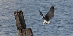 Female Sea-eagle, 18th May