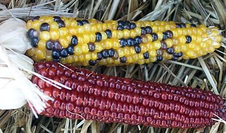 red corn black corn yellow corn | dawn | Flickr