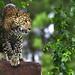 Leopard's Heaven, Indonesia