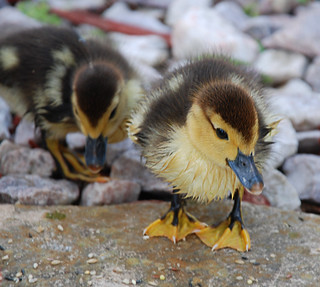 Fall Ducklings | by www.LKGPhoto.com