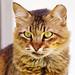 Portrait of a Kenyan cat