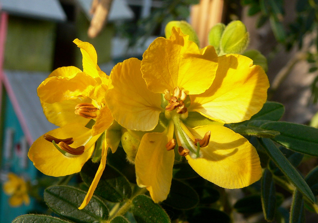 Cassia Flower | This small tree is very generous with its ...