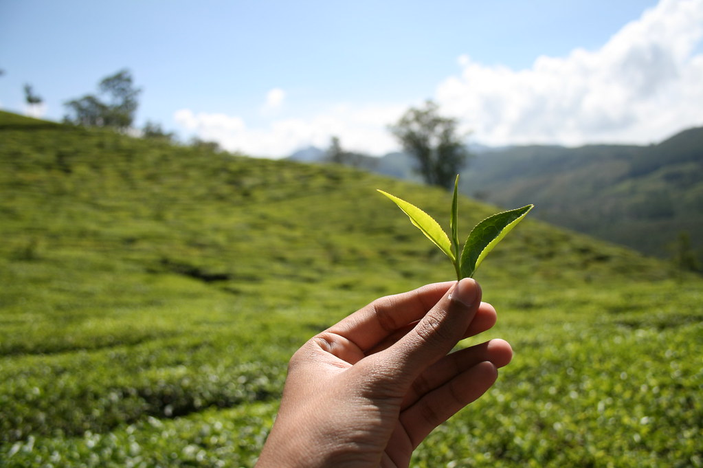 plucking tea leaves | Also featured in www.mygola.com ... Green Tea Leaves