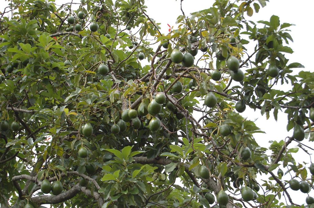 Avocado Tree Joachim Huber Flickr