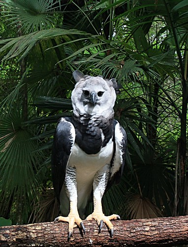 Male Harpy Eagle in Belize | by Clément Jacquard