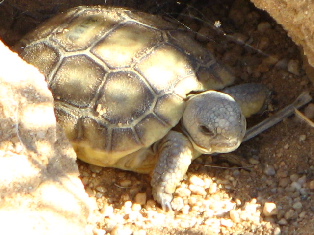 baby desert tortoise in ca | Flickr - Photo Sharing!