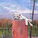 White tiger relaxes after leaping onto the high platform