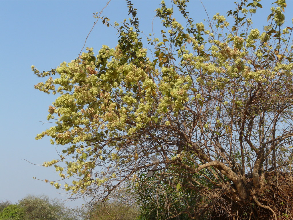 Paper flower climber combretaceae rangoon creeper for Terrace meaning in tamil