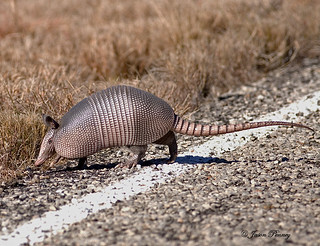 Texas Speed Bump AKA - Armadillo | by J Centavo