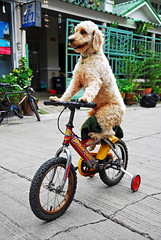 "Dog on a bike / chien sur velo - Bangkok, Thailand | by Sailing ""Footprints: Real to Reel"" (Ronn ashore)"