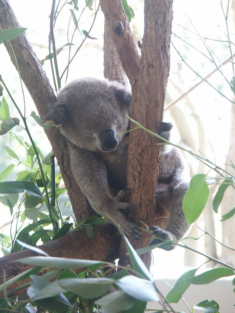 What are they feeding these stoned Koalas anyway? | Flickr ...