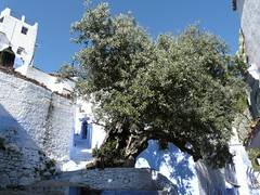 Olive tree in Chefchaouen