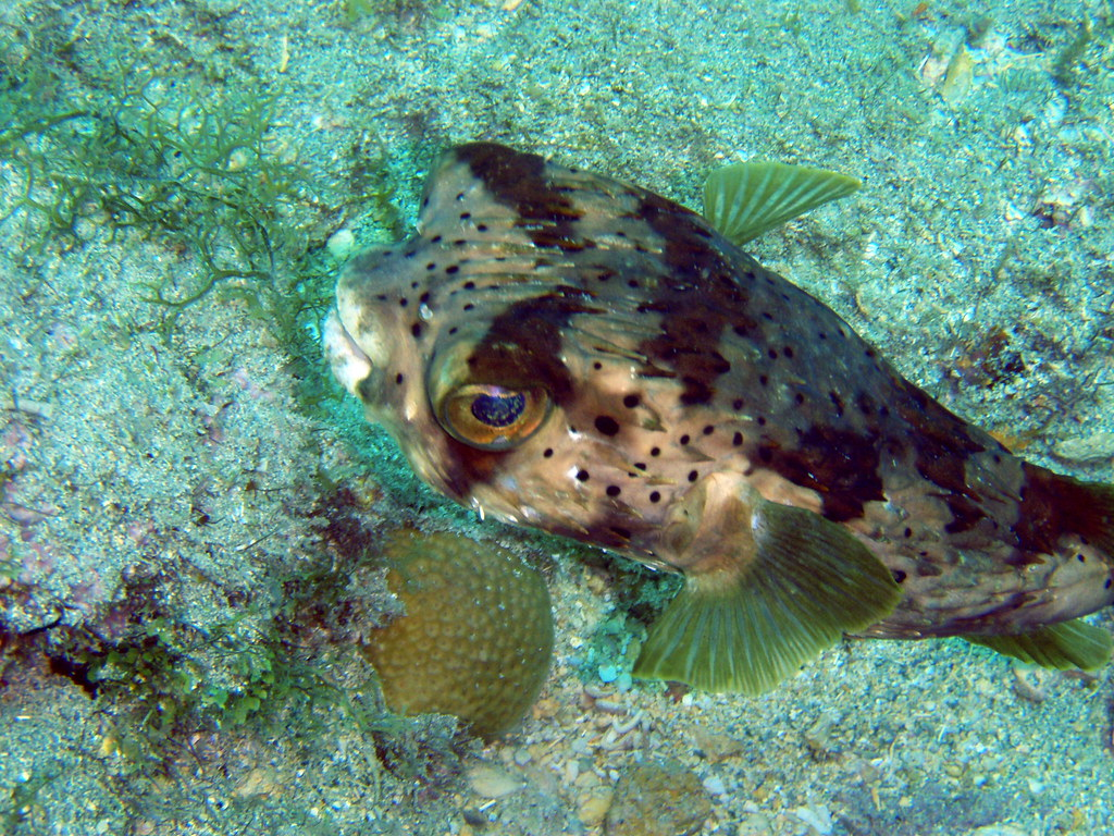 Porcupine puffer porcupine puffer fish the caves coral for Puffer fish florida