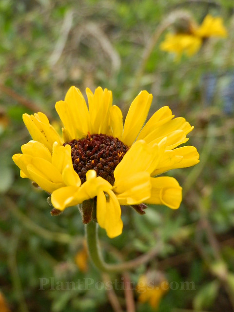 coast sunflower