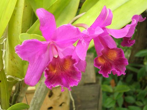 Bunga Orkid Ungu Flickr Photo Sharing