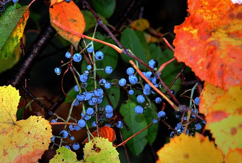 Wild Grapes of Autumn | by ☩ D L Ennis