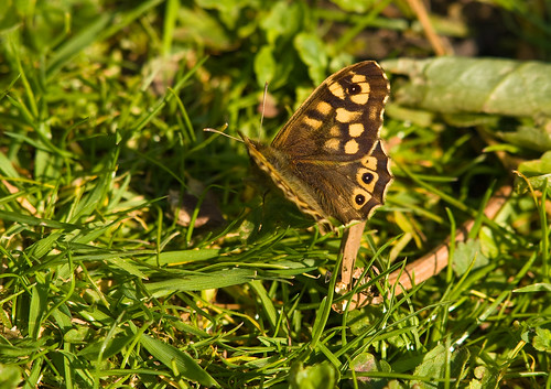 Speckled Wood | by HughofBardfield
