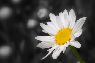 daisy flower - wallpaper background | by † David Gunter