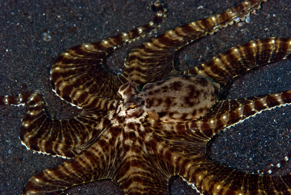 Mimic Octopus Flounder Mimic Octopus Unfolding From