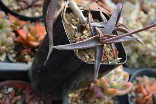 DSC_5345 Aloe inexpectata sp. nov. アロエ インエクスペタラ