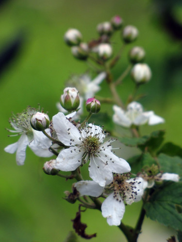 Blackberries-to-be | by BlueRidgeKitties