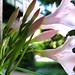 20080509 - Oleander