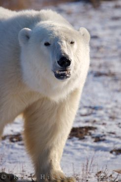 polar bear teeth | Polar Bear, Ursus maritimus, near Camp ...