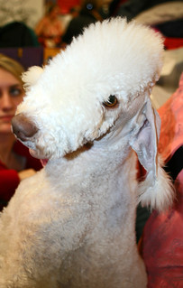 Bedlington Terrier | by Llima