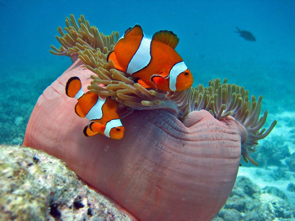 Clownfish in Thailand's Similan Islands   The Similan ...