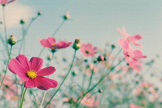 pink flowers | by saotin