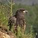 Bald Eagle Shots (3)