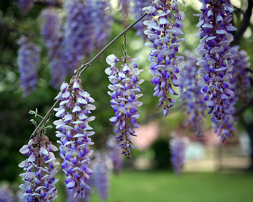 wisteria intoxication | by jaki good miller