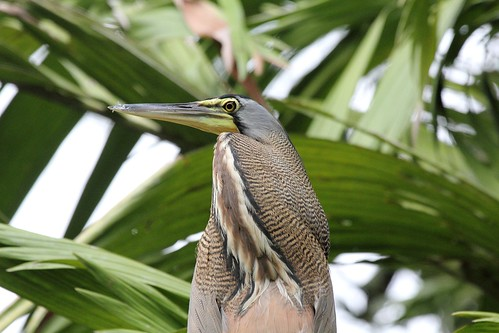 Bare-throated Tiger-Heron (Tigrisoma mexicanum) | by Dominic Sherony