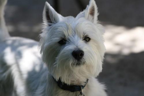 Westie Dog For Sale Radyr