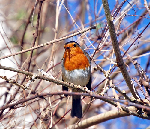 Robin: A Prince of Birds! | by Roger's Photos59